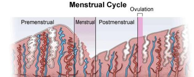 menstruation cycle