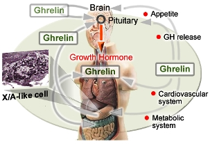 Ghrelin levels and diabetes