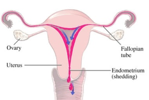 Amenorrhea Causes and Effects