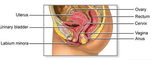Anatomy-and-Physiology-of-the-Female-Reproductive-Organ-Explained